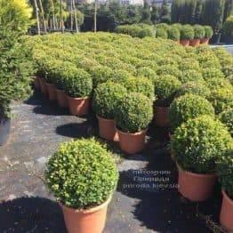 Самшит мелколистный Фолкнер Шар (Buxus microphilla Faulkner Boll) ФОТО Питомник растений Природа (Priroda) (11)
