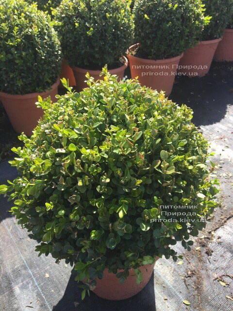 Самшит мелколистный Фолкнер Шар (Buxus microphilla Faulkner Boll) ФОТО Питомник растений Природа (Priroda) (12)