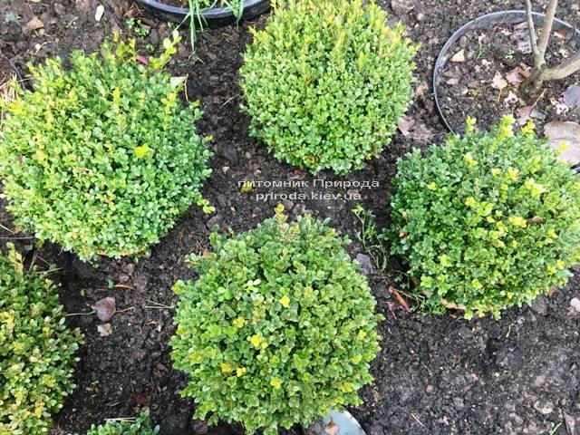 Самшит мелколистный Фолкнер Шар (Buxus microphilla Faulkner Boll) ФОТО Питомник растений Природа (Priroda) (13)