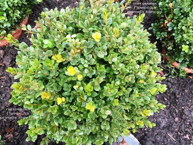 Самшит мелколистный Фолкнер Шар (Buxus microphilla Faulkner Boll) ФОТО Питомник растений Природа (Priroda) (14)