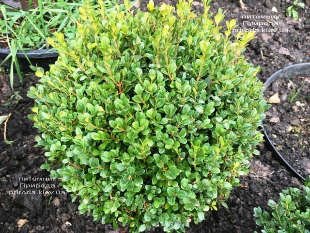 Самшит мелколистный Фолкнер Шар (Buxus microphilla Faulkner Boll) ФОТО Питомник растений Природа (Priroda) (15)