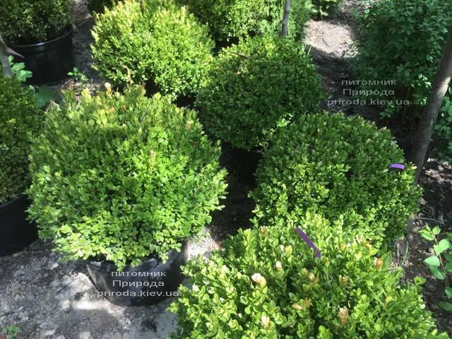 Самшит мелколістний Фолкнер Куля (Buxus microphilla Faulkner Boll) ФОТО Розплідник рослин Природа (Priroda) (7)