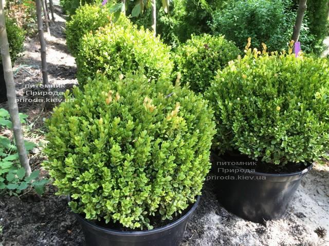 Самшит мелколістний Фолкнер Куля (Buxus microphilla Faulkner Boll) ФОТО Розплідник рослин Природа (Priroda) (8)
