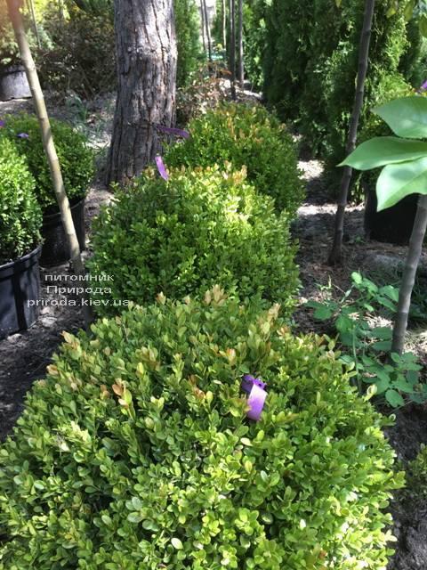 Самшит мелколістний Фолкнер Куля (Buxus microphilla Faulkner Boll) ФОТО Розплідник рослин Природа (Priroda) (9)
