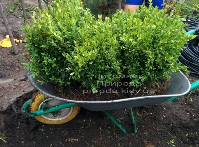 Самшит вечнозелёный (Buxus sempervirens) ФОТО Питомник растений Природа (Priroda) (35)