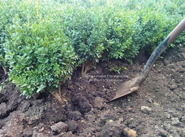 Самшит вечнозелёный (Buxus sempervirens) ФОТО Питомник растений Природа (Priroda) (37)