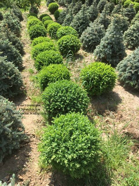 Самшит вічнозелений Куля (Buxus sempervirens Boll) ФОТО Розплідник рослин Природа (Priroda) (31)