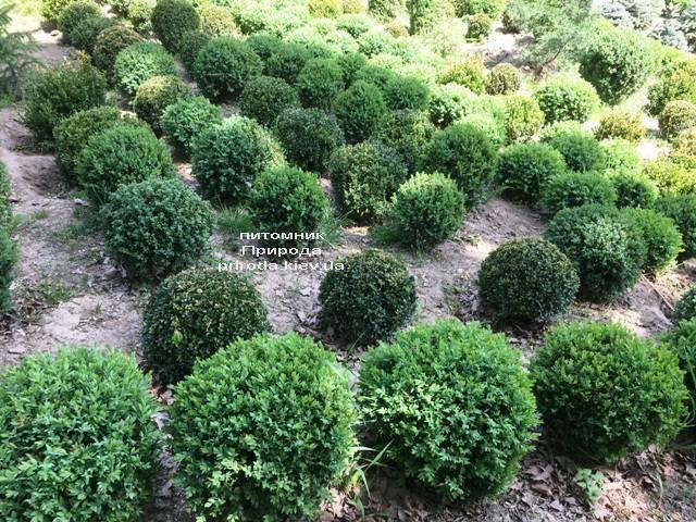 Самшит вечнозелёный Шар (Buxus sempervirens Boll) ФОТО Питомник растений Природа (Priroda) (33)