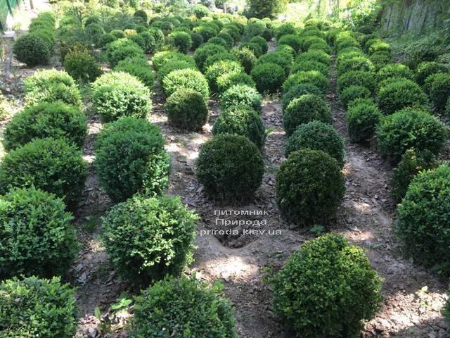 Самшит вечнозелёный Шар (Buxus sempervirens Boll) ФОТО Питомник растений Природа (Priroda) (34)