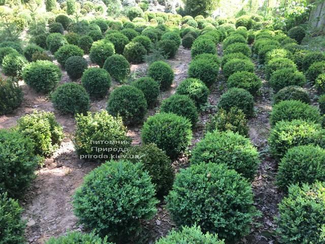 Самшит вечнозелёный Шар (Buxus sempervirens Boll) ФОТО Питомник растений Природа (Priroda) (35)