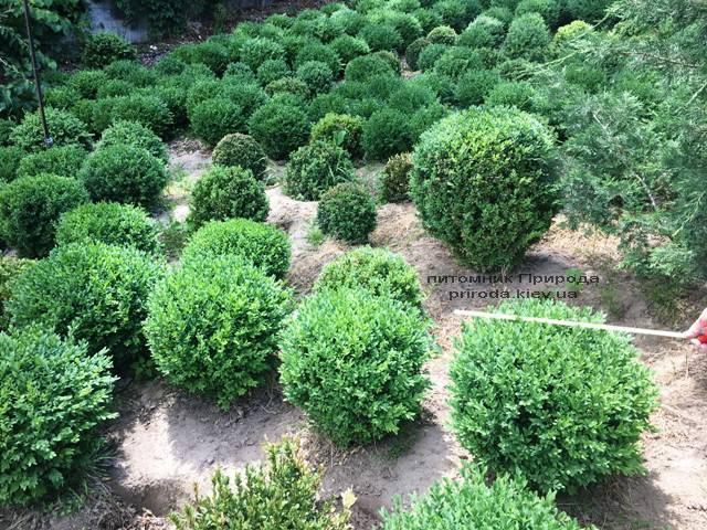 Самшит вічнозелений Куля (Buxus sempervirens Boll) ФОТО Розплідник рослин Природа (Priroda) (39)