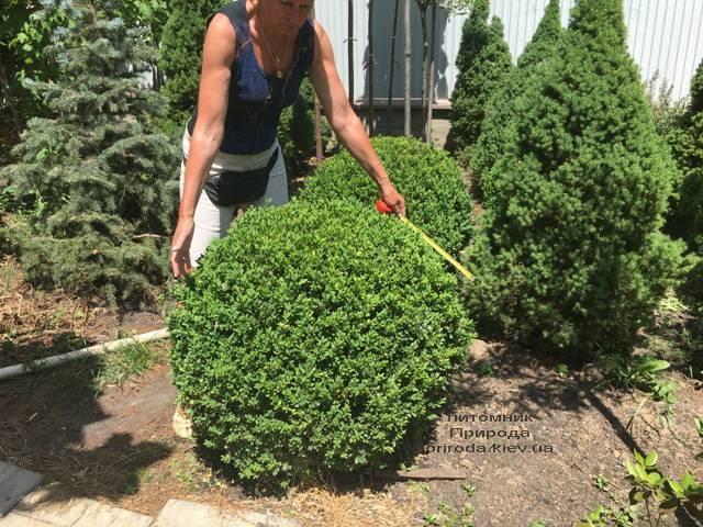 Самшит вечнозелёный Шар (Buxus sempervirens Boll) ФОТО Питомник растений Природа (Priroda) (40)