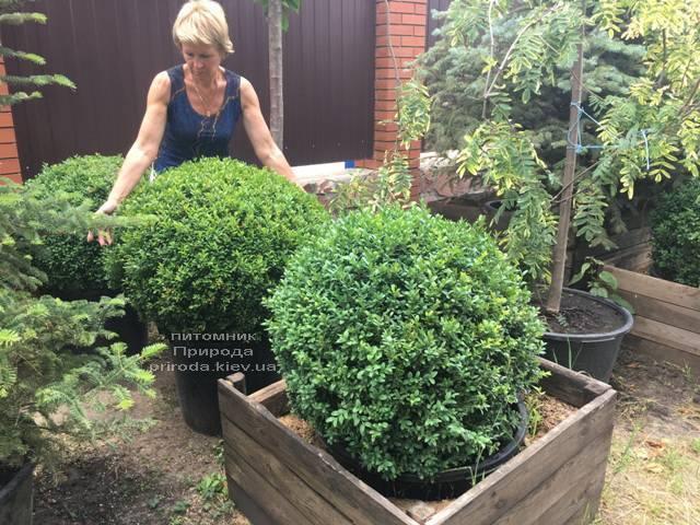 Самшит вечнозелёный Шар (Buxus sempervirens Boll) ФОТО Питомник растений Природа (Priroda) (42)