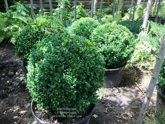 Самшит вечнозелёный Шар (Buxus sempervirens Boll) ФОТО Питомник растений Природа (Priroda) (43)