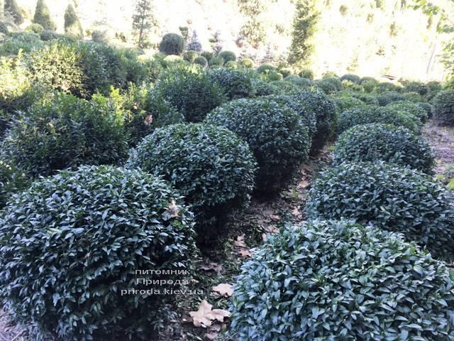 Самшит вечнозелёный Шар (Buxus sempervirens Boll) ФОТО Питомник растений Природа (Priroda) (44)