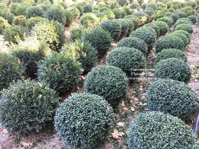 Самшит вічнозелений Куля (Buxus sempervirens Boll) ФОТО Розплідник рослин Природа (Priroda) (45)
