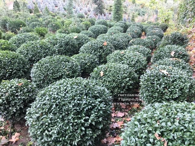 Самшит вечнозелёный Шар (Buxus sempervirens Boll) ФОТО Питомник растений Природа (Priroda) (46)