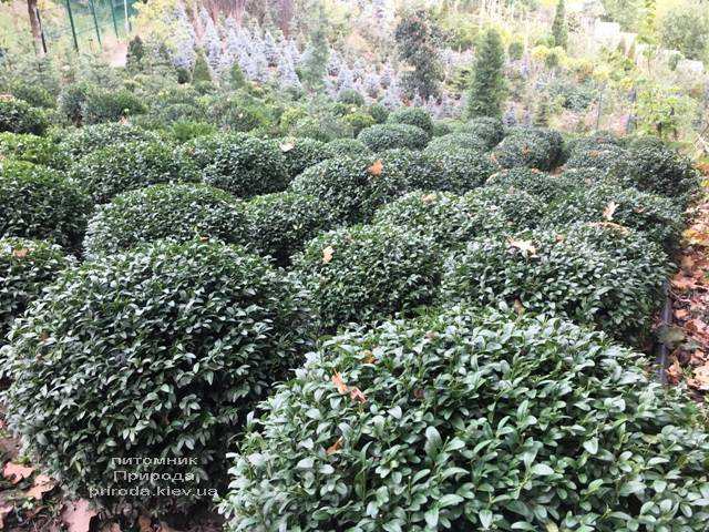 Самшит вечнозелёный Шар (Buxus sempervirens Boll) ФОТО Питомник растений Природа (Priroda) (47)