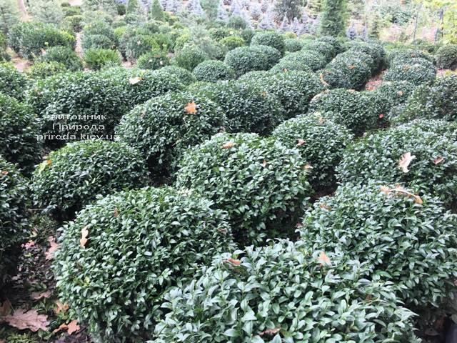 Самшит вечнозелёный Шар (Buxus sempervirens Boll) ФОТО Питомник растений Природа (Priroda) (51)