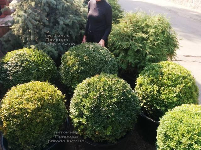Самшит вечнозелёный Шар (Buxus sempervirens Boll) ФОТО Питомник растений Природа (Priroda) (54)