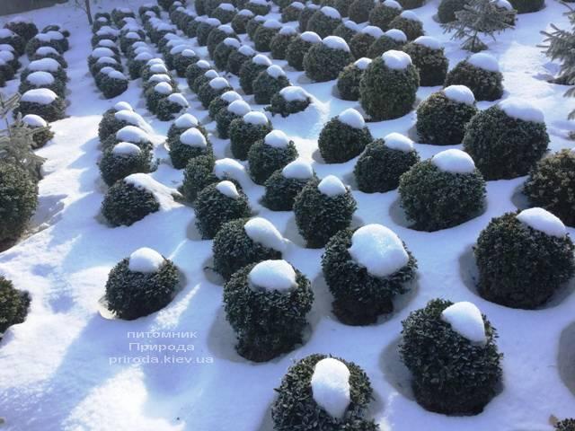 Самшит вечнозелёный зимой ФОТО Питомник растений Природа (Priroda) (31)