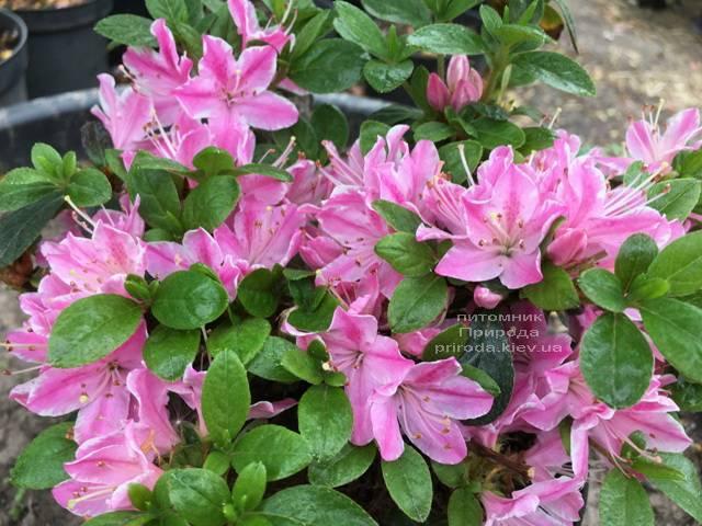 Азалія японська Кермезіна Роуз (Rhododendron Kermesina Rose) ФОТО Розплідник рослин Природа (Priroda) (1)