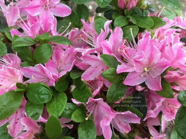 Азалія японська Кермезіна Роуз (Rhododendron Kermesina Rose) ФОТО Розплідник рослин Природа (Priroda) (2)