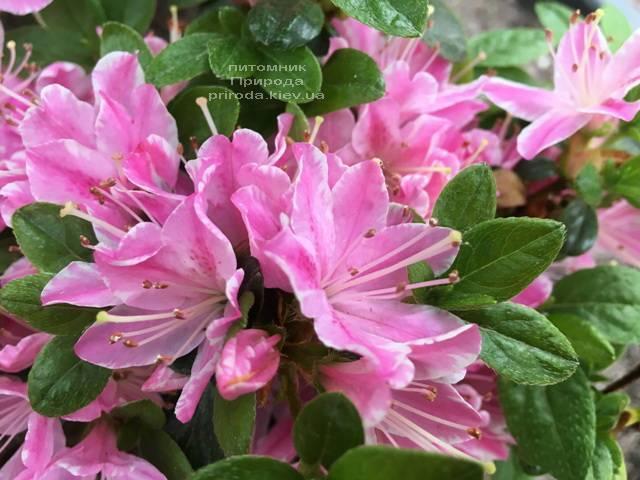 Азалія японська Кермезіна Роуз (Rhododendron Kermesina Rose) ФОТО Розплідник рослин Природа (Priroda) (3)