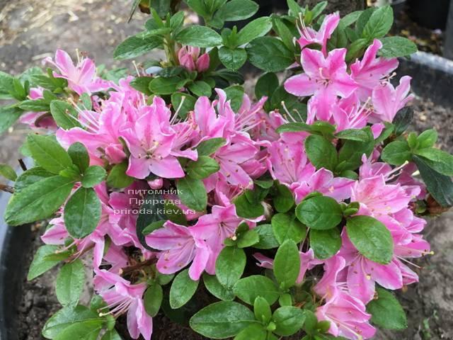 Азалія японська Кермезіна Роуз (Rhododendron Kermesina Rose) ФОТО Розплідник рослин Природа (Priroda) (4)
