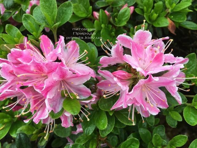 Азалія японська Кермезіна Роуз (Rhododendron Kermesina Rose) ФОТО Розплідник рослин Природа (Priroda) (5)