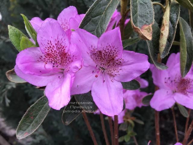 Азалия японская Ледиканенс (Rhododendron Ledicanense) ФОТО Питомник растений Природа (Priroda) (1)