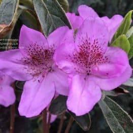 Азалия японская Ледиканенс (Rhododendron Ledicanense) ФОТО Питомник растений Природа (Priroda) (2)