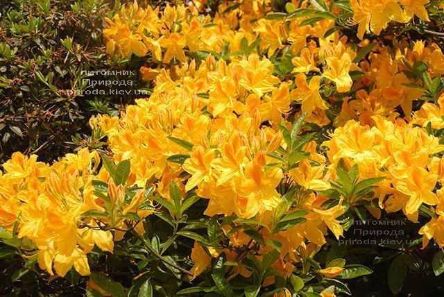 Азалія садові крупноквіткова Голдетопас (Рододендрон листопадний Rhododendron Goldtopas) (1)