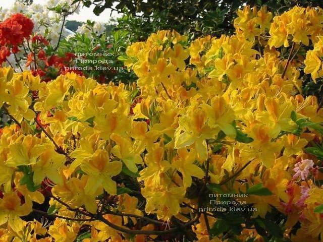 Азалія садові крупноквіткова Голдетопас (Рододендрон листопадний Rhododendron Goldtopas) (2)