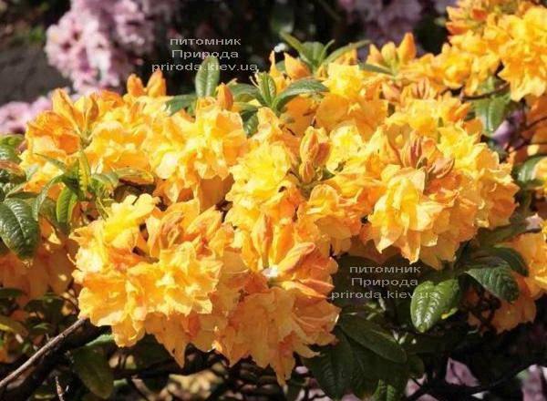 Азалия садовая крупноцветковая Голдетопас (Рододендрон листопадный Rhododendron Goldtopas) (3)