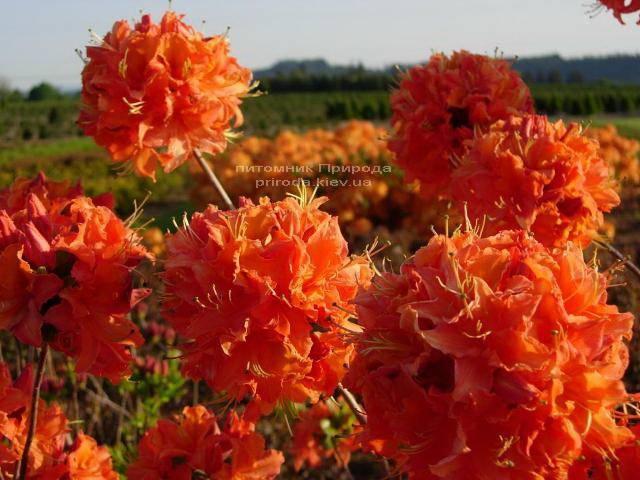 Азалия садовая крупноцветковая Мандарин Лайт (Рододендрон листопадный Rhododendron Mandarin Lights) (2)