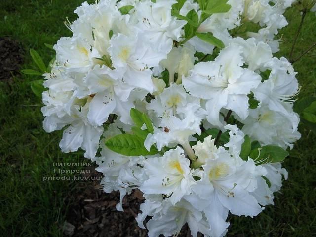 Азалия садовая крупноцветковая Оксидол (Рододендрон листопадный Rhododendron Oxydol) (1)