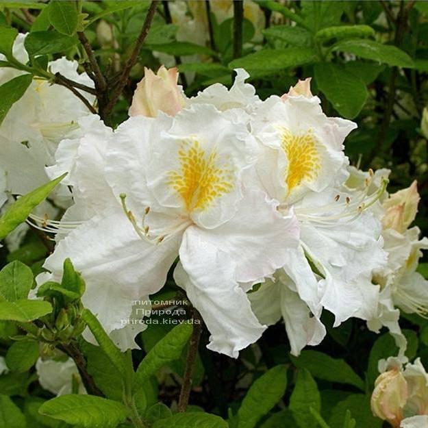 Азалия садовая крупноцветковая Оксидол (Рододендрон листопадный Rhododendron Oxydol) (3)