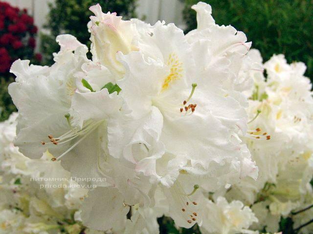 Азалия садовая крупноцветковая Оксидол (Рододендрон листопадный Rhododendron Oxydol) (4)