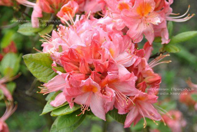 Азалия садовая крупноцветковая Пинк Делайт (Рододендрон листопадный Rhododendron Pink Delight) (1)