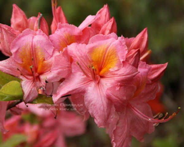 Азалия садовая крупноцветковая Пинк Делайт (Рододендрон листопадный Rhododendron Pink Delight) (2)
