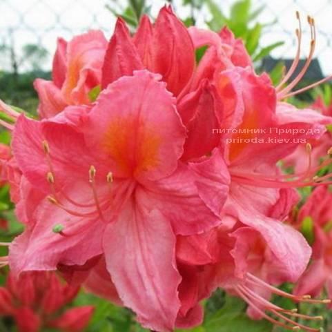 Азалия садовая крупноцветковая Сарина (Рододендрон листопадный Rhododendron Sarina) (1)