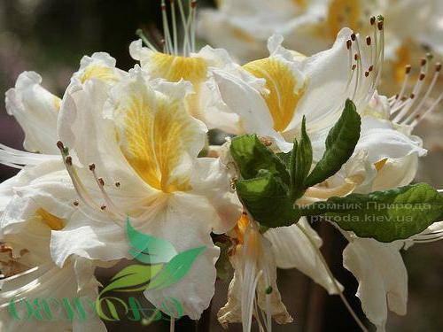 Азалия садовая крупноцветковая Шнееголд (Рододендрон листопадный Rhododendron Schneegold) (1)