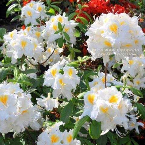 Азалия садовая крупноцветковая Шнееголд (Рододендрон листопадный Rhododendron Schneegold) (3)