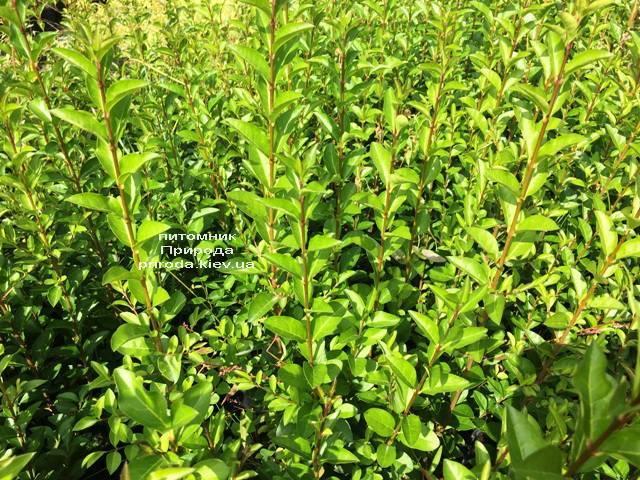Бирючина звичайна Атровіренс (Ligustrum vulgare Atrovirens) ФОТО Розплідник рослин Природа (Priroda) (11)