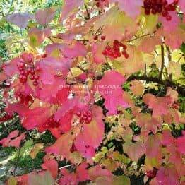Калина червона / звичайна (Viburnum opulus) ФОТО Розплідник рослин Природа (Priroda)