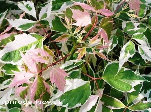 Клён ясенелистный Фламинго (Acer negundo Flamingo) ФОТО Питомник растений Природа (Priroda) (1)