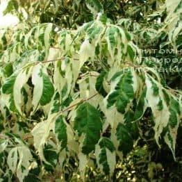 Клён ясенелистный Фламинго (Acer negundo Flamingo) ФОТО Питомник растений Природа (Priroda) (3)