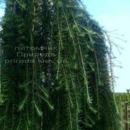 Лиственница японская Стиф Випер (Larix kaempferi Stiff Weeper) на штамбе ФОТО Питомник растений Природа (Priroda) (1)