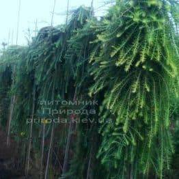 Лиственница японская Стиф Випер (Larix kaempferi Stiff Weeper) на штамбе ФОТО Питомник растений Природа (Priroda) (5)